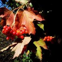 Грозди калины в августе :: Лидия Бараблина