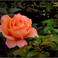 Розовая роза :: Олег Курочкин