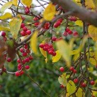 Райские яблочки. :: Ирэна Мазакина
