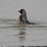 мокрая ворона :: ИННА POROHOVA