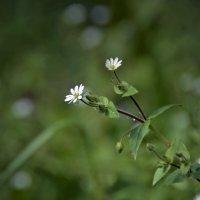 Скромный цветочек :: Нина Синица
