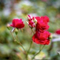 Розы Измайловского сада. :: Виктор Орехов
