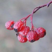 Кисть плодов яблони-дички Сибирской. :: сергей