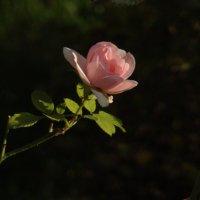 Роза :: Syntaxist (Светлана)