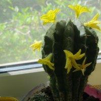 Кактус в цвету... :: Maikl Smit