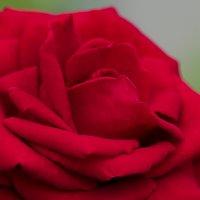 Красная роза :: Алена Рябченко