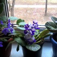 Мои фиалки и в ноябре цветут :: Елена Семигина