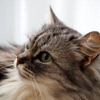 Самая любимая и красивая котя-Нюся) :: Анастасия Косякова