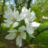 Майское цветение :: Татьяна Лобанова