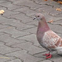 Необычной расцветки голубь :: Зинаида Каширина