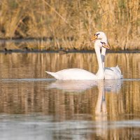 Лебеди :: Андрей