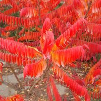 Осенний сумах :: Стас Борискин (Stanisbor)
