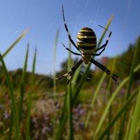 Аргиопа Брюнниха, или паук-оса (лат. Argiope bruennichi) :: dana smirnova