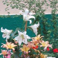 Лилии цветут :: Дмитрий Никитин