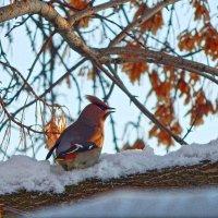 Крылатый любитель крылаток! :: Елена Хайдукова  ( Elena Fly )