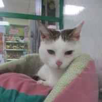 Кошка Белочка,7 лет,в добрые руки. :: Зинаида