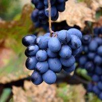 Виноград в октябре :: Александр