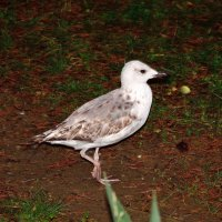Птенец чайки на вечерней прогулке :: Александр