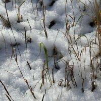 Зеленая травинка. Сопротивление осени и зиме. :: Зинаида Каширина