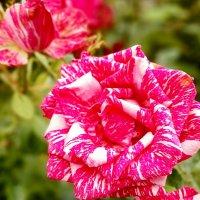 Роза :: Светлана Дунаева