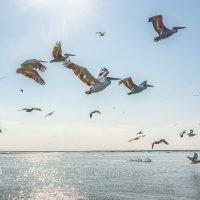 Полёт пеликанов :: Фёдор. Лашков