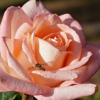 Роза в ноябре :: Swetlana V