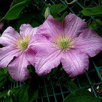 Розовое лето открывает клематис!... :: Лидия Бараблина