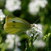 опять про бабочек...9 :: Александр Прокудин