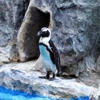 Пингвин пошёл купаться...:) :: Анатолий Колосов