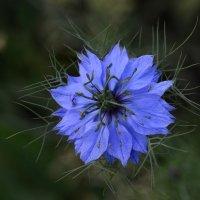 Цветок нигеллы :: Татьяна Соловьева