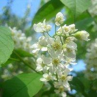 Черемухи цвет :: Елена Семигина