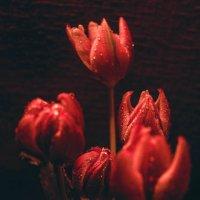 тюльпаны :: Марина Шахова
