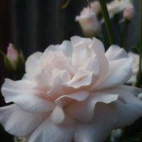 Нежная-розовая красотка... :: Татьяна