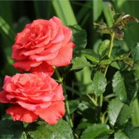 Мои розы :: ZNatasha -
