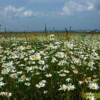 горные цветочки :: Александр Богатырёв