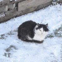 Котик на снегу. :: zoja