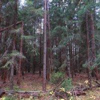 Мрачный еловый лес :: Андрей Снегерёв