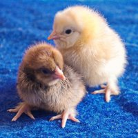 Детки курицы. :: сергей