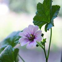 Герань садовая. :: сергей