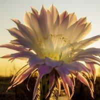 Цветок кактуса :: Сергей Шаталов