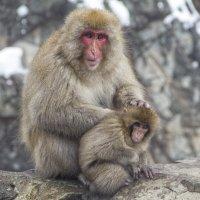 Из жизни снежных обезьян... :: Виктория