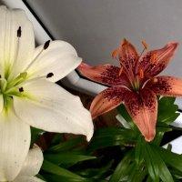 Мои лилии летом на балконе :: Елена Семигина