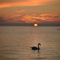 Лебедь на закате :: Александр Довгий