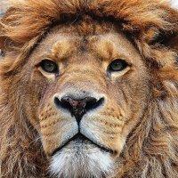 Лев в Новосибирском зоопарке. :: Рустам Илалов