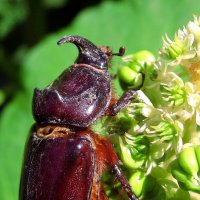 Макро жука носорога :: Лидия Бараблина