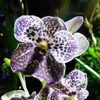 Орхидея :: Лидия Бусурина