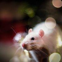 Rat :: Вадим Белов