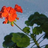 Соцветие герани. :: сергей