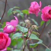 Розы в декабре. :: Михаил Столяров