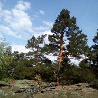 Сказочная опушка леса. Сосновая жизнь... :: Андрей Хлопонин